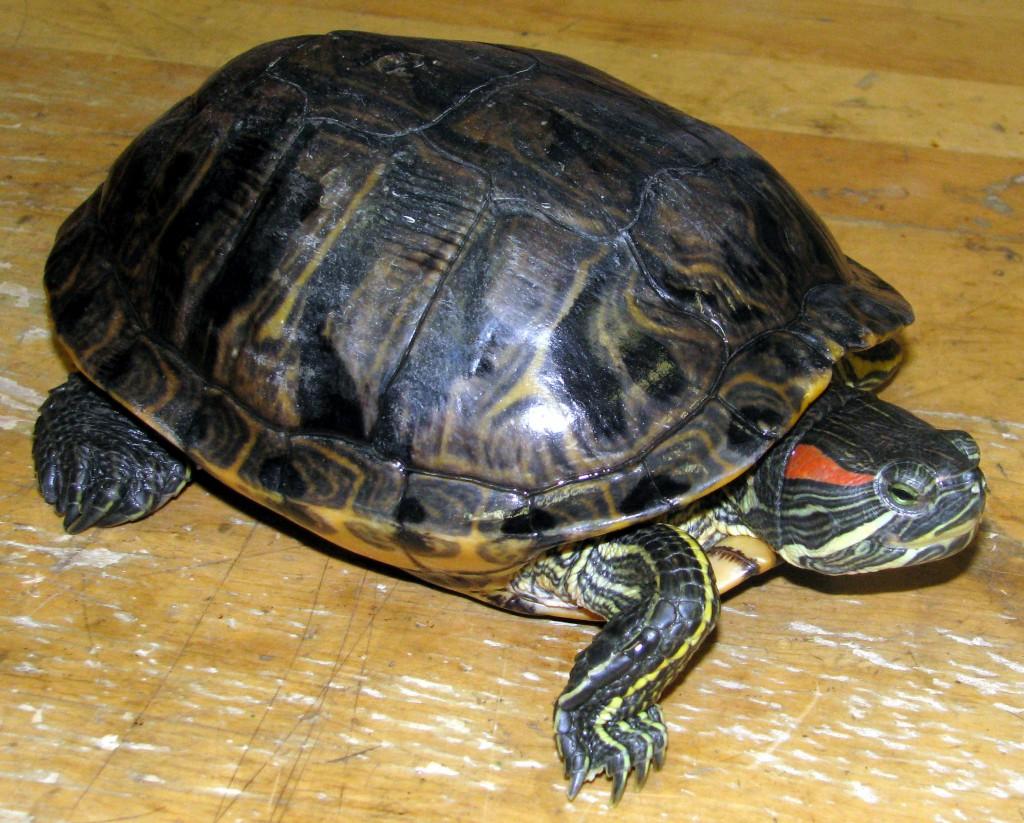 Красноухая черепаха 49